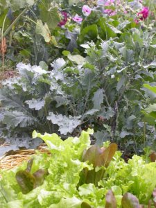 shades of green: lettuce, kale and chard